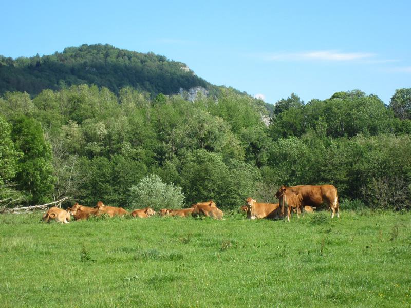 Notre commune : vaches Rochefort 73